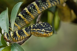 Wagler's pit viper - Tropidolaemus wagleri, beautiful colored viper from Southeast Asian forests and woodlands, Malaysia.