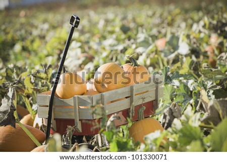 Wagon full of pumpkins in pumpkin patch
