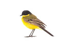 wagtail (Motacilla feldegg) isolated on a white background  in studio shot