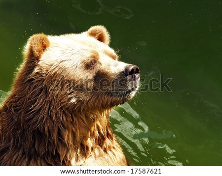 waiting bear brown bear stays in the green water river