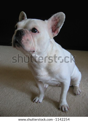 Waiting for a delicious award -Sheila the French Bulldog