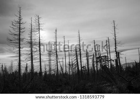 Waldsterben or forest dieback of conifers in Harz, Germany