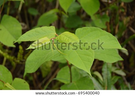 "Wales -  The fast-growing, invasive, plant Japanese knotweed or ""Polygonum cuspidatum"" or ""Fallopia japonica"""