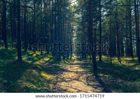 Walk in the pine dunes of the Baltic Sea