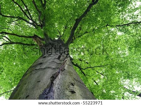 Walk in the woods, below a huge leafy tree #55223971