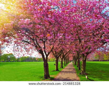 Walk path surrounded with blossoming plum trees at Meadows park, Edinburgh. Colorful spring landscape #214881328