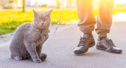 Walk the cat on the harness. Pet for a walk. Pet is afraid of the street. An article about walking cats. An article about the fear of street pets. British breed cat. The cat is sitting on the pavement