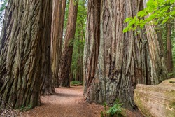 Walking a peaceful path through the Coast Redwoods in Jedediah Smith Redwoods  State Park, California, USA