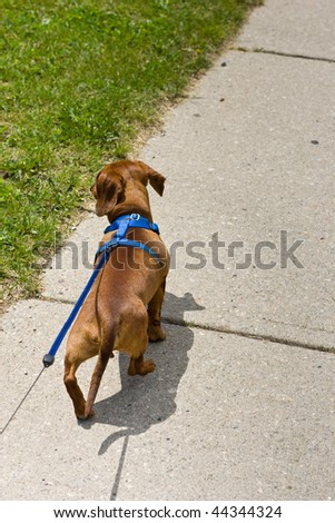 Walking a small miniature Dachshund on a sidewalk, with the leash leading out of frame.