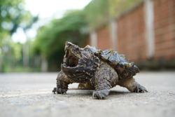 Walking Alligator Snapping turtle