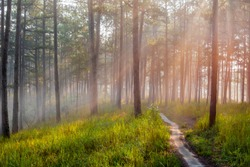Walking and trip on small trail in the pine forest with beauty in nature and radiant light at the sunrise. Photo used for advertising, idea design, travel and more