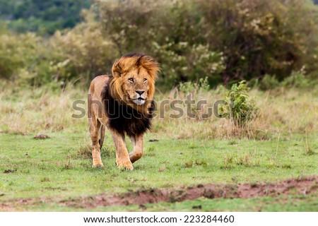 Stock Photo Walking big Lion Lipstick of 4 Km Coalition in Masai Mara, Kenya