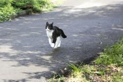walking black and white cat