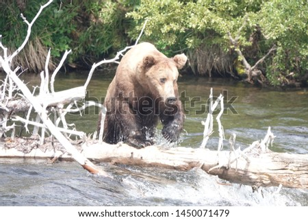 Walking brown bear nice pic
