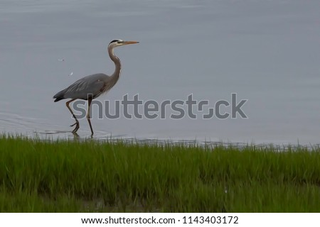 Walking by the bay we saw this Blue Heron catching dinner #1143403172