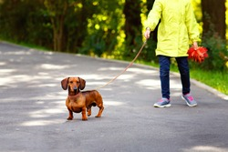 Walking dog on a leash in the Park. A child with a red purebred Dachshund on a walk.