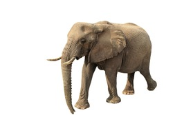 walking elephant isolated on white background