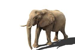 walking elephant isolated on white background with shadow