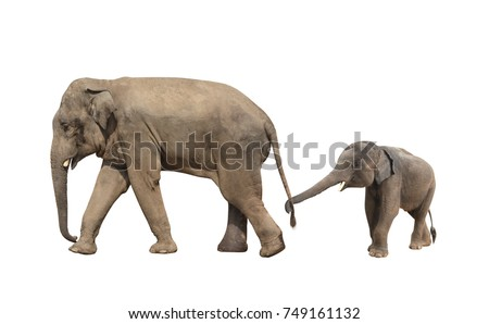 Walking family of elephant - mom and baby (Elephas maximus). Small elephant is held by the trunk by the tail of his mother. Isolated on white background