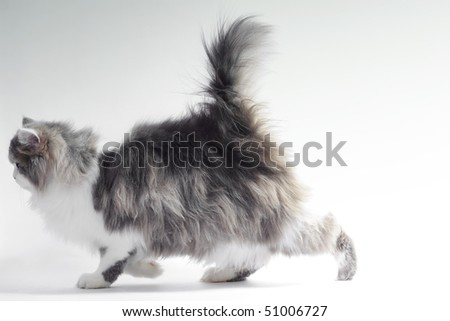 Walking fluffy cat