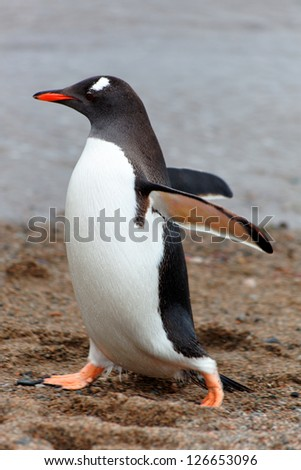 Walking Gentoo penguin, Cuverville Island, west coast of Antarctic Peninsula