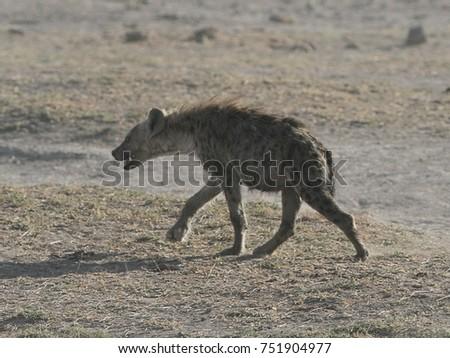 Walking Hyena, Amboseli National Park, Kenya, Africa #751904977