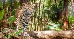 Walking Jaguar - Belize