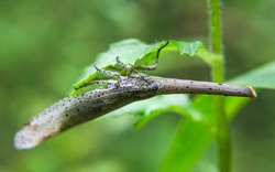 Walking leaf insect in forest. A female Leaf Insect.