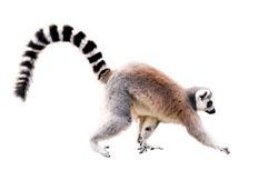 walking lemur isolated on white. Year of Red Monkey