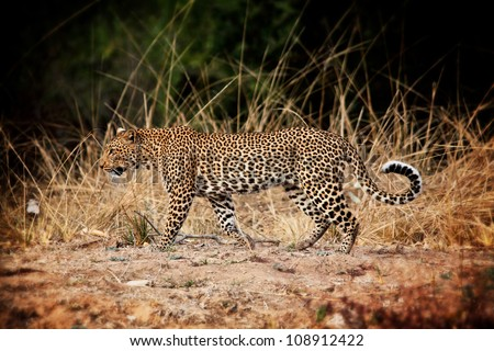 walking leopard in luangwa park zambia