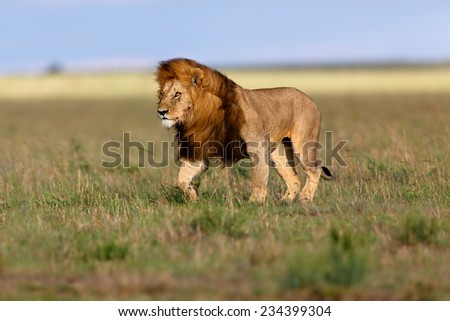 Stock Photo Walking Lion Ron in the beautiful landscape of Masai Mara