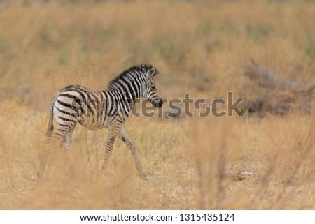 walking little zebra foal in dry grass of african savanna, cute tiny zebra colt in savanna