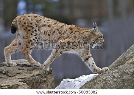 walking lynx on the rock