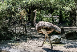 Walking ostrich close-up, selective focus. A large gray bird with a long neck and strong legs.