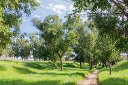 Walking path between eucalyptus trees on a sunny day. Israel