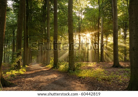 Walking path in forest at morning with beautiful sunbeams. #60442819