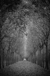 Walking path through tree lines