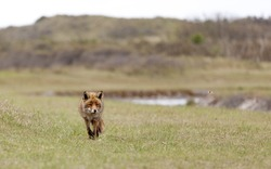 Walking red fox in the dunes, Amsterdamse waterleiding duinen, the Netherlands