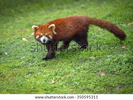 Walking red panda. Red panda looks at camera over a green grass background