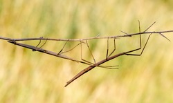 Walking stick, Phasmatodea. Insect photographed in their natural habitat