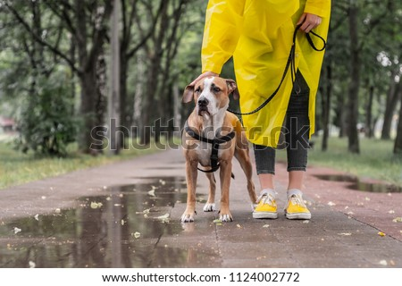 Walking the dog in yellow raincoat on rainy day. Female person and staffordshire terrier dog on a leash stand on pavement in urban park in bad weather