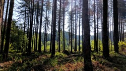 walking through the beautiful pine trees of Sherwood Forest, Nottinghamshire