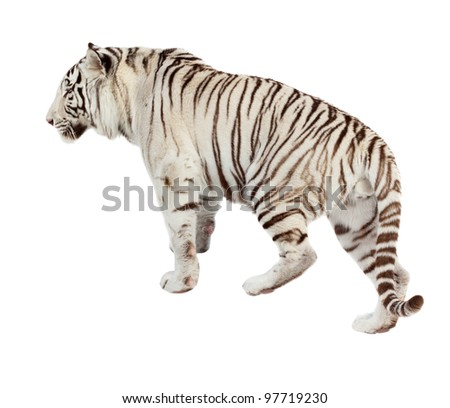 Walking white tiger. Isolated  over white background - stock photo