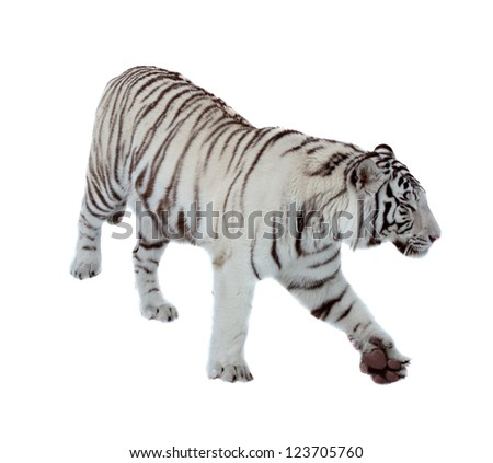 Walking white tiger over white background