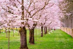 Walkway under the flowering Sakura Trees. Sakura Cherry blossoming alley. Wonderful scenic park with rows of blossoming cherry sakura trees and green lawn in springtime, Germany.