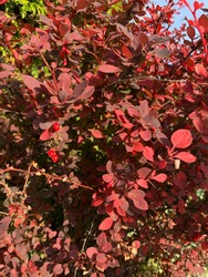 Wall cotoneaster (Cotoneaster horizontalis) berries.