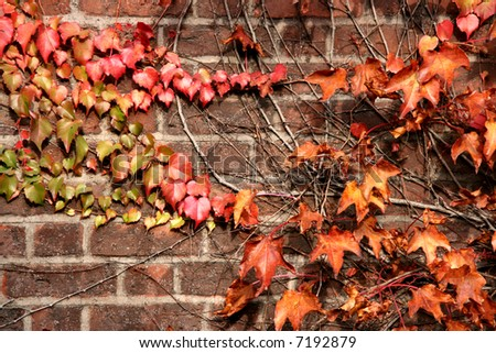 Wall covered in autumn colorful vine creeper plant