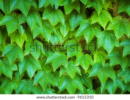 wall covered with ivy