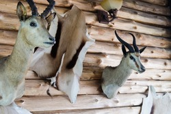 Wall Decoration with Animal Taxidermy