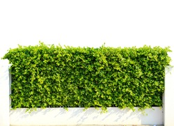 Wall green leaves isolated on white background